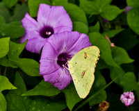 Clouded Yellow Butterfly on a Purple Morning Glory