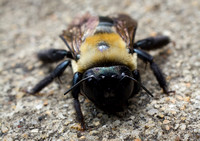 Up Close and Personal with the Carpenter Bee