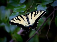 Eastern Tiger Swallowtail Butterfly at Black Creek