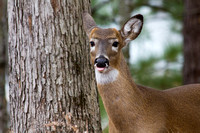 Portrait of a Black-Tailed Deer blowing a Raspberry